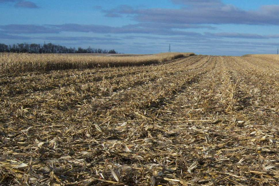 Corn stover left after harvest